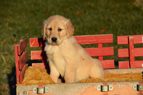 AKC Registered Golden Retriever Puppy For Sale Female Lilly Millersburg, Ohio