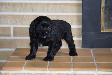 AKC Cocker Spaniel For Sale Fredericksburg Ohio Female Chloe