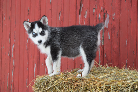 AKC Registered Siberian Husky Puppy For Sale Female Dixie Baltic, Ohio