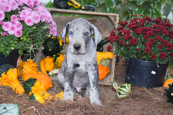 AKC Registered Great Dane For Sale Baltic Ohio Jake Male