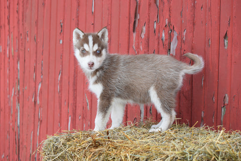 AKC Registered Siberian Husky Puppy For Sale Male Kirby Baltic, Ohio