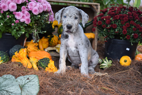 AKC Registered Great Dane For Sale Baltic Ohio Duke Male