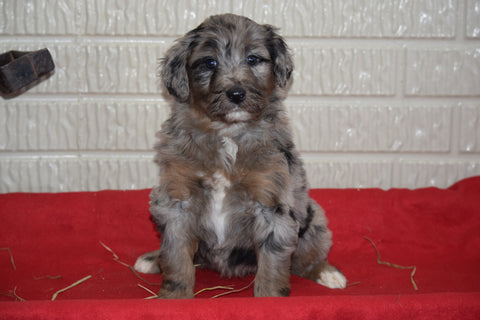 Aussiedoodle For Sale Sugarcreek Ohio female Andrea