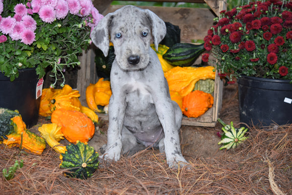 AKC Registered Great Dane For Sale Baltic Ohio Abby Female