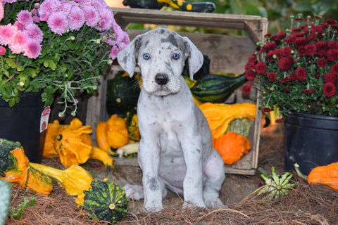 AKC Resgisterd Great Dane For Sale Baltic Ohio Chloe Female