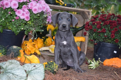 AKC Registered Great Dane For Sale Baltic Ohio Gracie Female