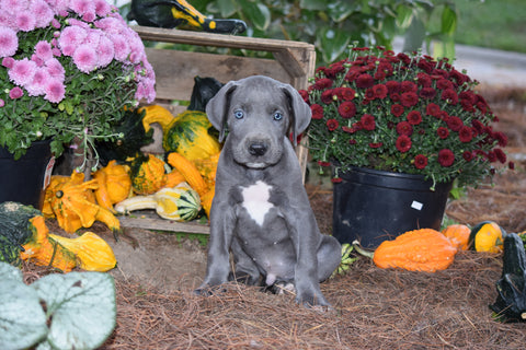 AKC Registered Great Dane For Sale Baltic Ohio Harley Male