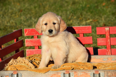 AKC Registered Golden Retriever Puppy For Sale Female Abbey Millersburg, Ohio