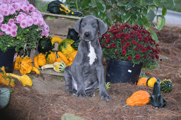 AKC Registered Great Dane For Sale Baltic Ohio Male Oliver