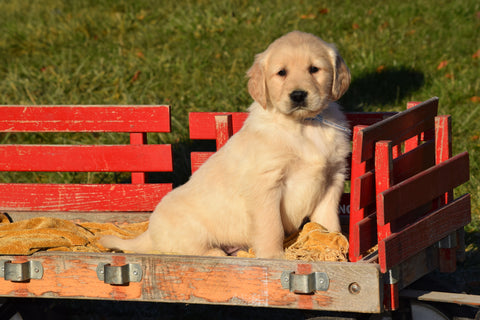 AKC Registered Golden Retriever Puppy For Sale Male Sammie Millersburg, Ohio