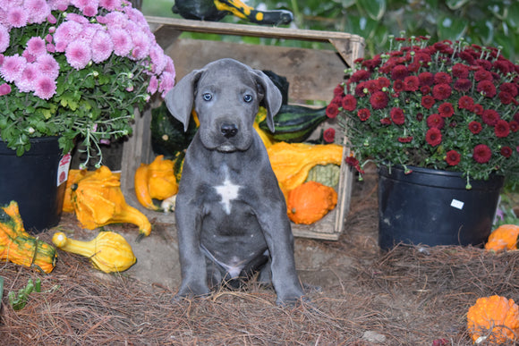 AKC Registered Great Dane For Sale Baltic Ohio Male Sam