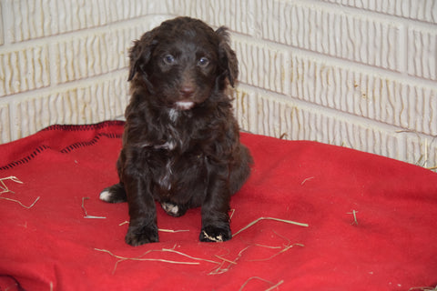 Aussiedoodle For Sale Sugarcreek Ohio Male Alfred