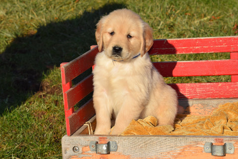 AKC Registered Golden Retriever Puppy For Sale Male Nicky Millersburg, Ohio