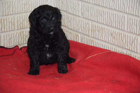 Aussiedoodle For Sale Sugarcreek Ohio Female Alexa