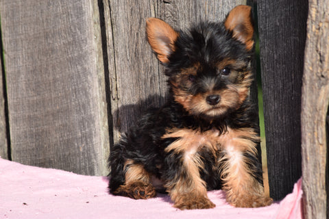 ACA Registered Yorkshire Terrier Puppy For Sale Male Dewy Millersburg, Ohio