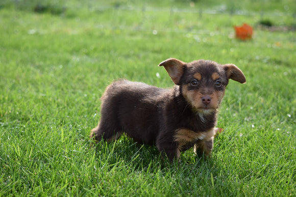Torkie - (Toy Fox Terrier-Yorkie) For Sale Millersburg Ohio Female Coco