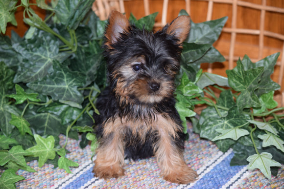 ACA Yorkshire Terrier For Sale Millersburg Ohio Male Tiny Tim
