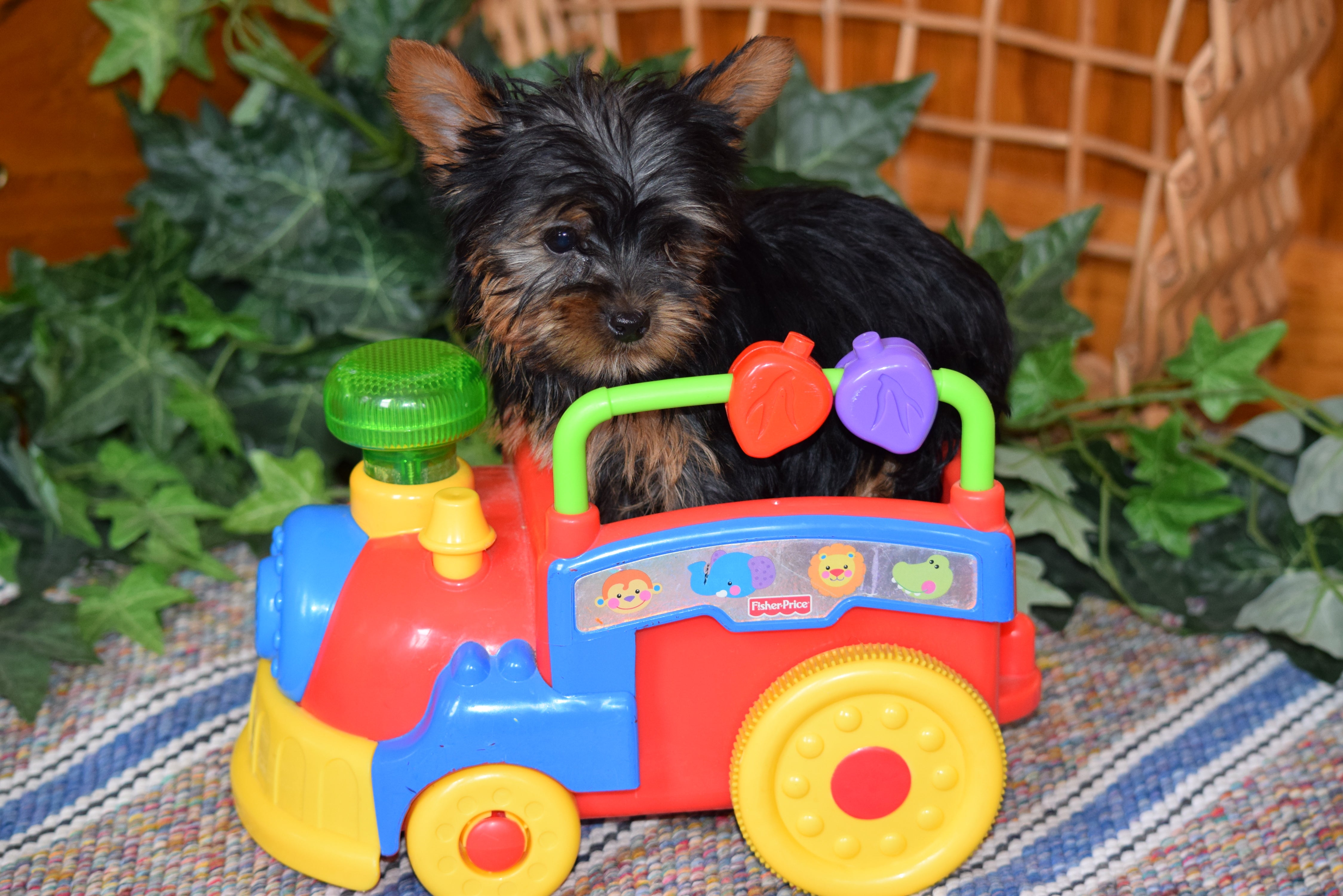 ACA Yorkshire Terrier For Sale Millersburg Ohio Male Tiny