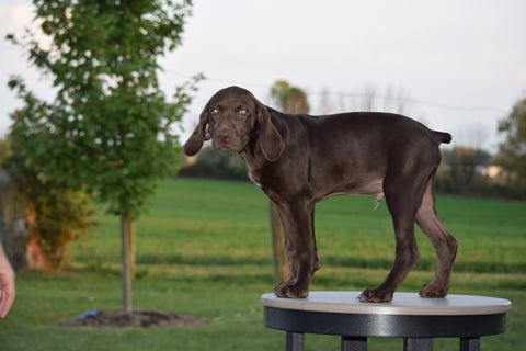 AKC Registered German Shorthaired Pointer For Sale Ohio Cooper Male