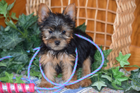 ACA Yorkshire Terrier For Sale Millersurg Ohio Male Tony