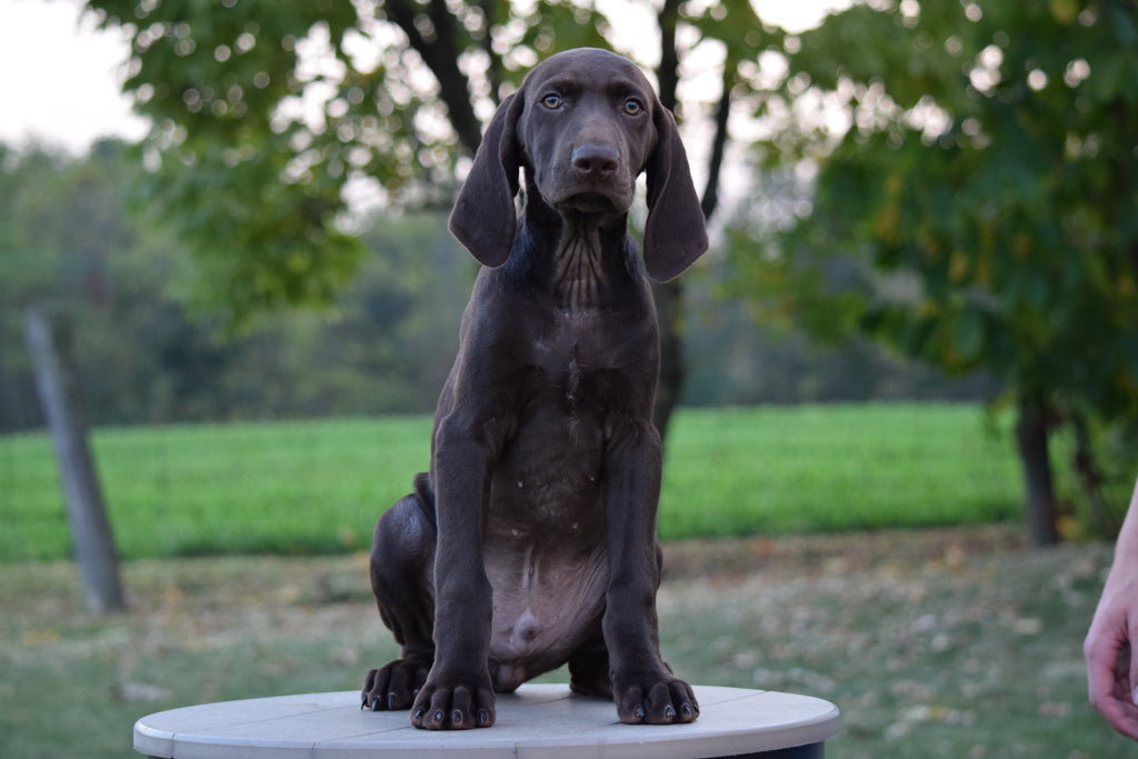 Akc Registered German Shorthaired Pointer For Sale Ohio