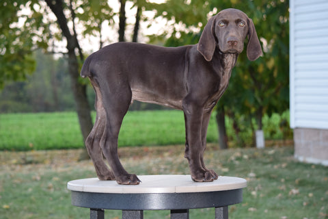 AKC Registered German Shorthaired Pointer For Sale Ohio Jake Male