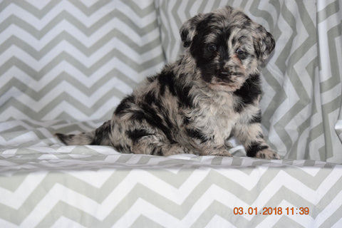 Blue Merle Miniature Labradoodle Female Jewel Millersburg Ohio Ac