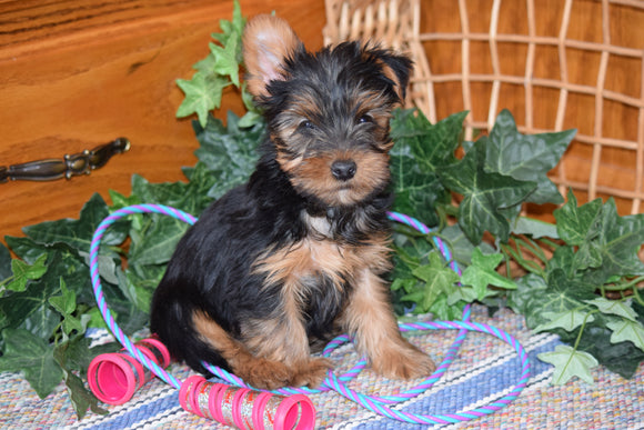 ACA Yorkshire Terrier For Sale Millersburg Ohio Male Terry