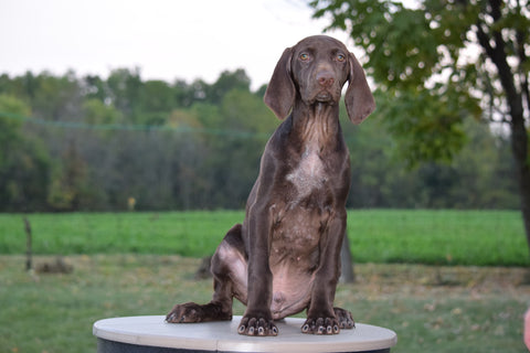 Akc Registered German Shorthaired Pointer For Sale Ohio Mason Ac
