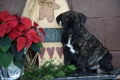 UKC Registered Presa Canario Puppy For Sale Female Robin Fresno, Ohio