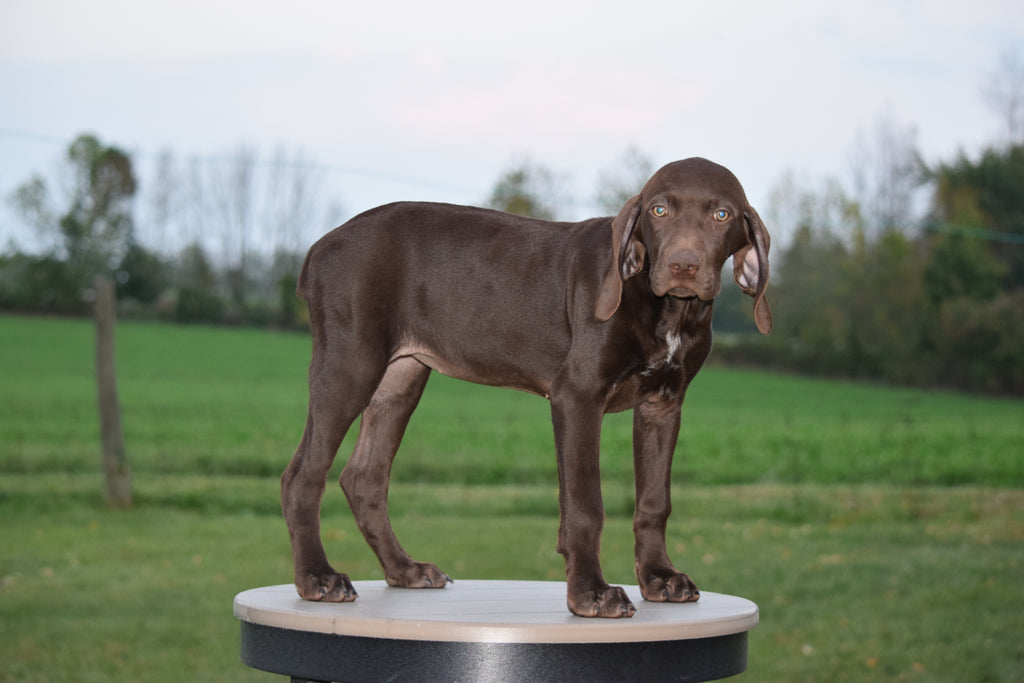 Akc Registered German Shorthaired Pointer For Sale Ohio Sierra Female Ac Puppies Llc