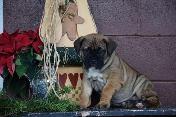 UKC Registered Presa Canario Puppy For Sale Male Rudolph Fresno, Ohio