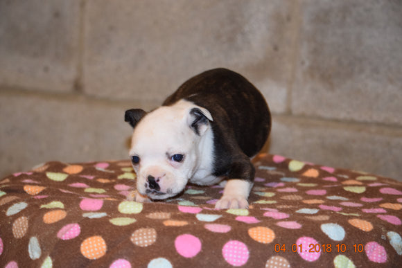 Boston Terrier English Bulldog Puppy For Sale Butler Ohio Lady Female
