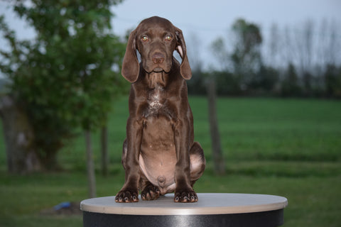 AKC Registered German Shorthaired Pointer For Sale Ohio Mack Male