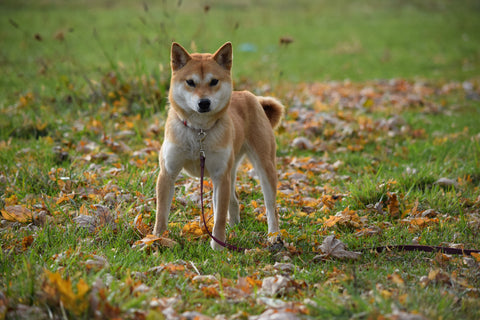 ACA Registered Shiba Inu For Sale Millersburg Ohio Red Female Sheba