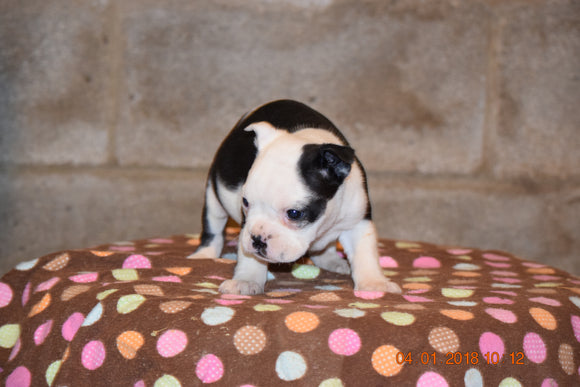 Boston Terrier English Bulldog Puppy For Sale Butler Ohio Lacy Female