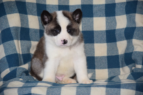 ACA Registered Akita Puppy For Sale Male Scout Baltic, Ohio