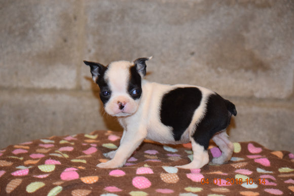 Boston Terrier English Bulldog Puppy For Sale Butler Ohio Trixie Runt Female