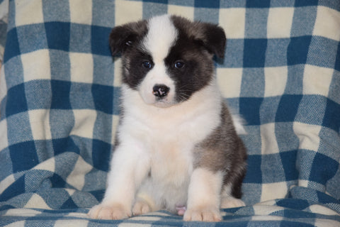 ACA Registered Akita Puppy For Sale Male Rufus Baltic, Ohio