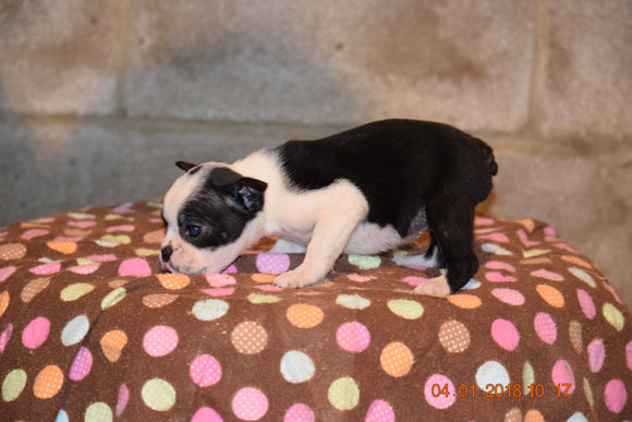 Boston Terrier English Bulldog Puppy For Sale Butler Ohio Runt Bella Female