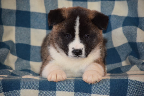 ACA Registered Akita Puppy For Sale Male Brutus Baltic, Ohio