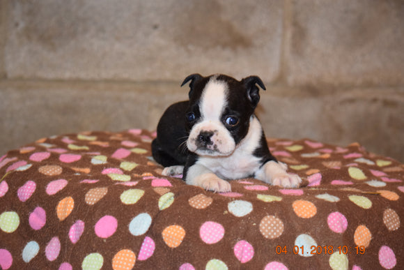 Boston Terrier English Bulldog Puppy For Sale Butler Ohio Max Male