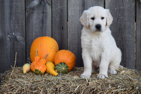AKC Registered Golden Retriever For Sale Male Oscar Millersburg, Ohio
