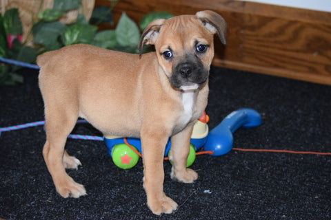Beabull Puppy For Sale Millersburg Ohio Female Destiny