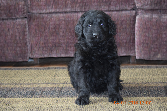 Black Goldendoodle Puppy For Sale Mount Gilead Ohio Male Matt