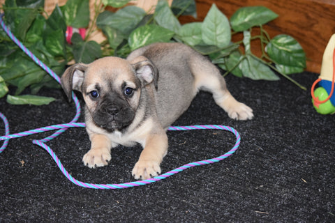 Beabull Puppy For Sale Millersburg Ohio Female Daisy