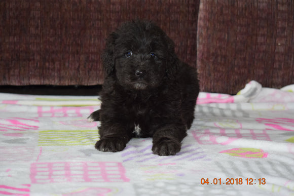 Black Goldendoodle Puppy For Sale Mount Gilead Ohio Female Anna