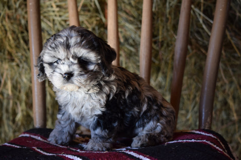 DBR Registered Cockapoo for Sale Millersburg Ohio Male Tommy