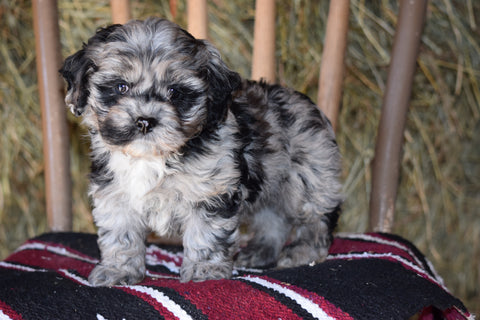 DBR Registered Cockapoo For Sale Millersburg Ohio Male Bobby