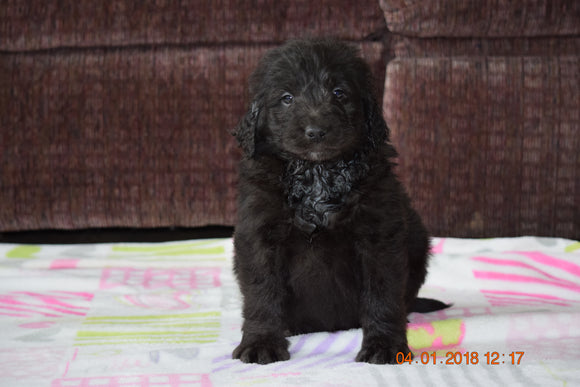 Black Goldendoodle Puppy For Sale Mount Gilead Ohio Male Buster